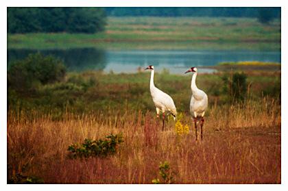 Whooping Cranes, Necedah National Wildlife Refuge